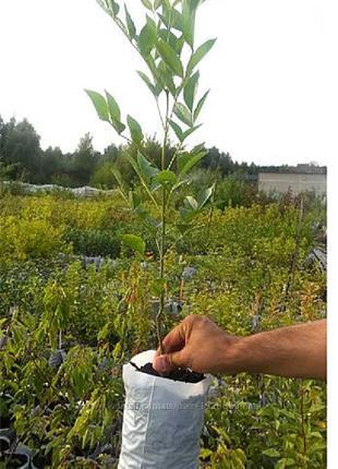 Ясень обыкновенный выс. 1-2 м, саженцы, купить украина