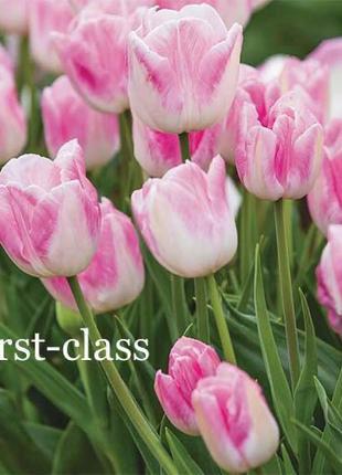 Цибулини тюльпанів