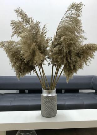 Пампасная трава Тростник Кортадерия Лагурус Сухоцвет pampas grass