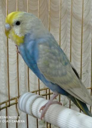 Комплект на подарок: попугай спенгл + клетка золотая + корм.
