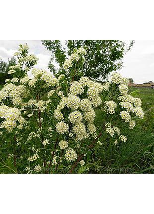 Спирея зверобоелистная  купить украина саженцы живая изгородь
