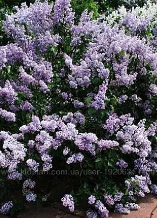 Сирень низкорослая для живых изгородей, синяя саженцы купить укра