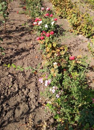 Розы и Саженцы