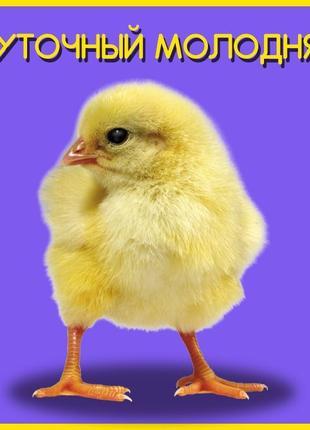 Запись на 07.09! Суточный Бройлер КОББ 500 цыплята