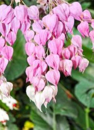 Цветы комнатные, Клеродендрум Томпсона - «символ любви», отростки