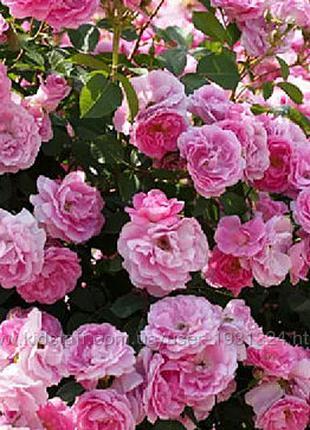 Роза чайная розовая и белая саженцы купить украина