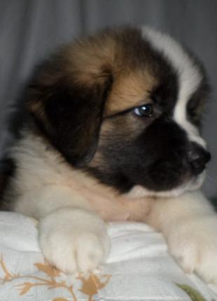 щенок девочка московская сторожевая собака