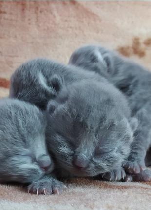 Весловухі котята