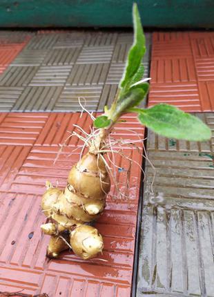 Топинамбур живая изгородь+кладець полезных витаминов+красивый ...