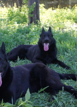 2 месяца,щенки немецкой овчарки от красивой черной пары