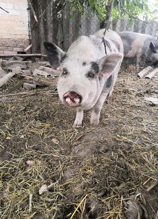Ветнамская свинья