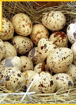 """Яйца инкубационные """"Техасец белый"""" - супер бройлер."""