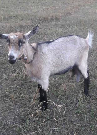 Продаються 2 кози.