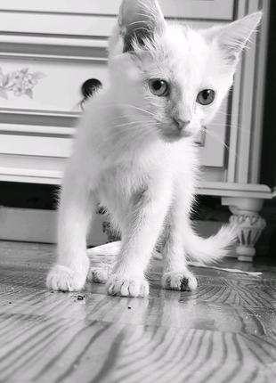 Котята белого окраса