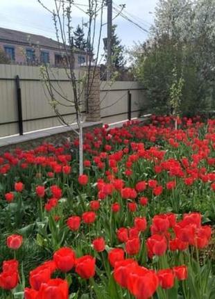 Тюльпан красный ранний луковицы