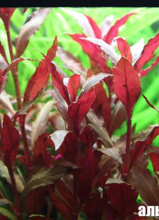 Аквариумные Растения - Альтернантера Рейнека