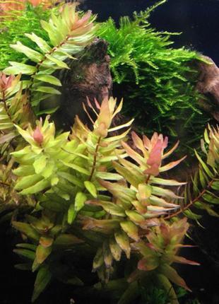 Аквариумные Растения - Ротала Макрандра Зеленая