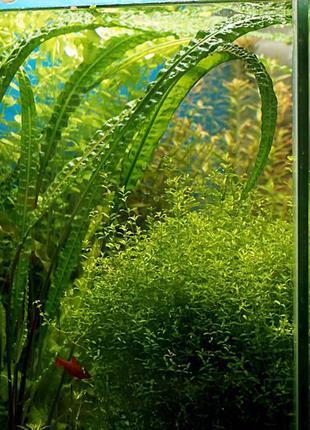Аквариумные растения - Ротала, Эхинодорус, Валлиснерия, Людвиг...