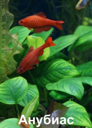 Аквариумные растения - буцефаландры, гигрофила, апоногетон, ан...