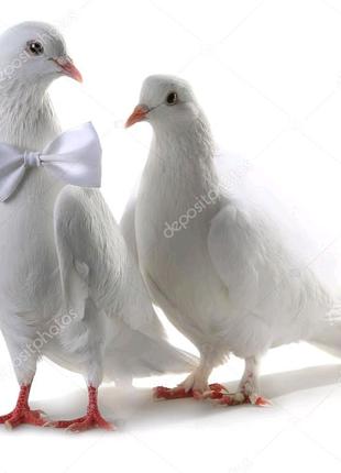 Белые голуби.