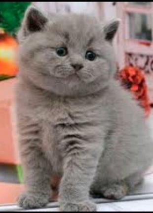 Шотландские котята веслоухие и прямоухие