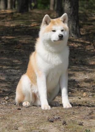 Продаются щенки Акита-ину