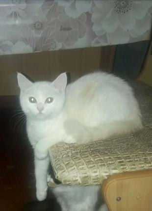 Породистый шотландский прямоухий кремовый  котёнок. Последний!