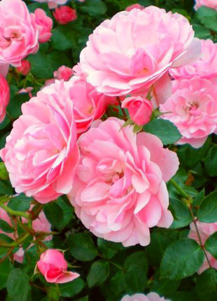 Саженцы масляничной чайной розы