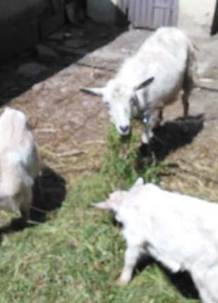 Продаю козу з козенятами.