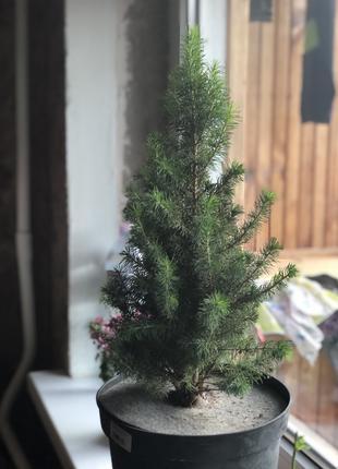 Канадская ель, маленькая елка