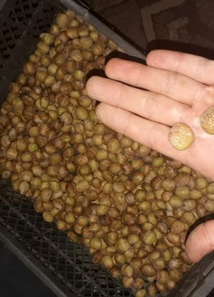 Ліщина (фундук, лісний горіх, ведмежий горіх)