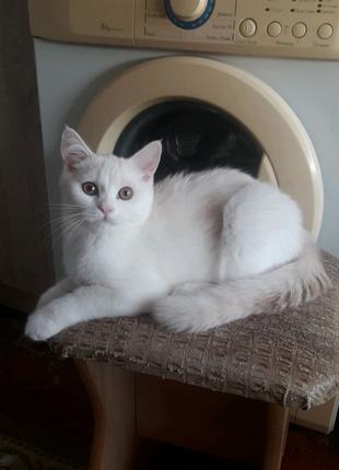 Шотландский прямоухий котёнок серебристо - кремовый