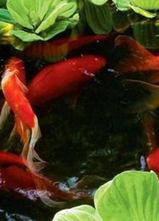 Прудовые рыбки КОМЕТЫ разного окраса 10-12 см