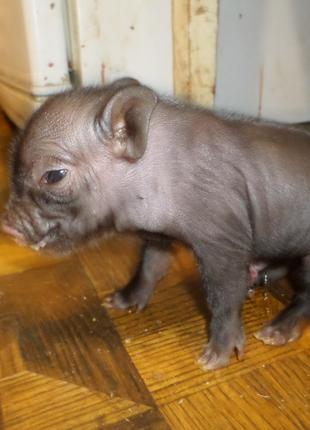 Квартирная свинка -карликовый поросенок Мини Пигги, домашня Хрюша