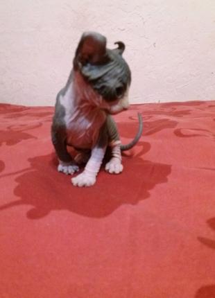 Безумно красивые котята канадского сфинкса  породы эльф