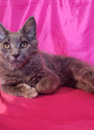 котенка мейн-куна