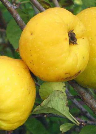 Хеномелес (Северный лимон)