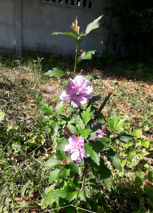 Махровый гибискус Lavender Chiffon.