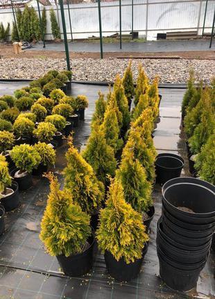 Декоративні хвойні вічнозелені туї, дерева, кущі та ялівці