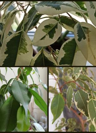 Фикус Бенджамина 4 сорта молодые укорененные растения