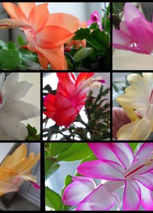 7 цветов шлюмбергера,рождественник укореняшки ,зигокактус