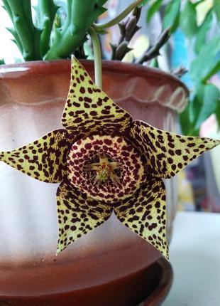СТАПЕЛИЯ пестрая ,леопардовая молодые укорененные растения,ОРБЕЯ