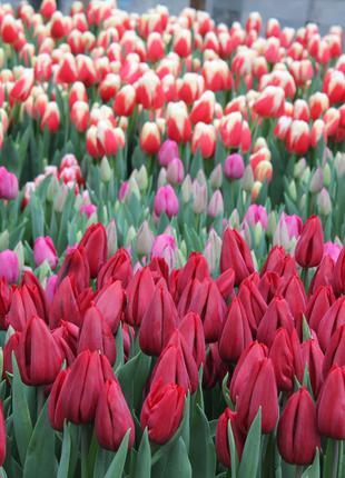 Луковицы тюльпанов из Голландии для выгонки. Опт от 100 шт.