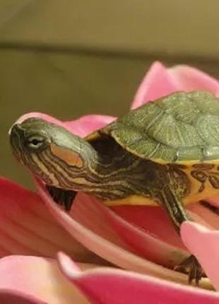 Качественная кр. черепаха 5 см по цене 250 грн.Корм в подарок!