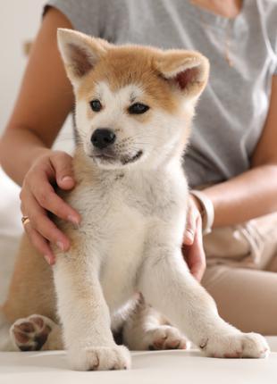 Купить щенка Акита ину
