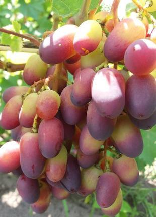 Cаженцы и черенки элитных сортов винограда