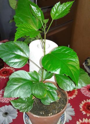 Китайская роза гибискус-комнатное дерево