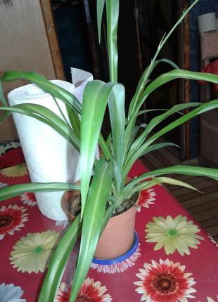 Хлорофитум-полезное красивое растение