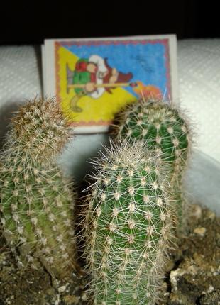 Кактус эхинопсис для флорариума-двухлетний