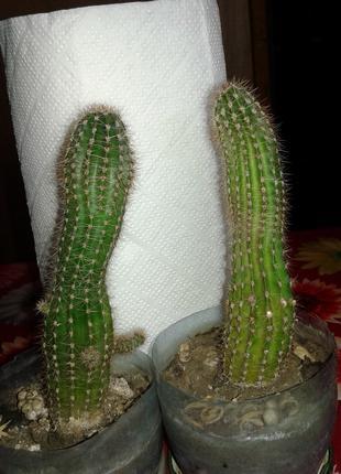 Эхинопсис-кактус 5 летний-неприхотливый питомец и оригинальный